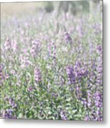 Field Of Lavender Flowers Metal Print by Beverly Cazzell