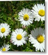 Field Of White Daisy Flowers Art Prints Summer Metal Print