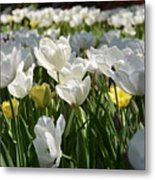 Field Of White Tulips Metal Print