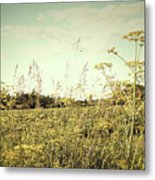 Field Of Wild Dill In The Afternoon Sun  Metal Print by Sandra Cunningham