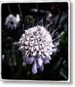 Field Scabious. A Member Of The Metal Print