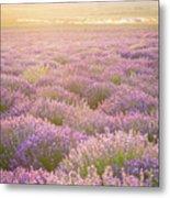 Fields Of Lavender Metal Print