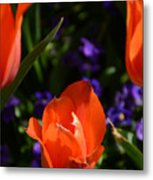 Fiery Colored Tulips Metal Print