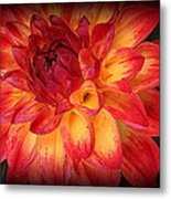 Fiery Red And Yellow Dahlia Metal Print