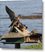 Fighting Ducks Metal Print
