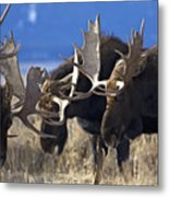 Fighting Moose Metal Print