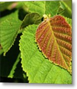 Filbert Leaf Metal Print
