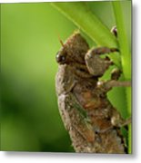 Final Instar Of A Cicada Emerging From The Ground To Molt On A L Metal Print