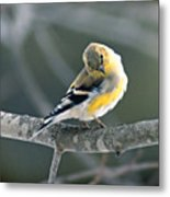 Finch Courtsy Metal Print