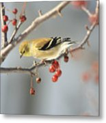 Finch Eyeing Seeds Metal Print