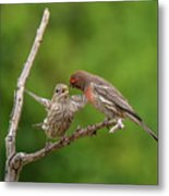 Finch Feeding Time I Metal Print