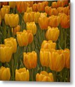 Fine Lines In Yellow Tulips Metal Print