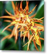 Fire Orchid Metal Print