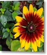 Firecracker Sunflower Metal Print