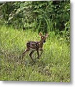 First Baby Fawn Of The Year Metal Print