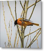 First Baltimore Oriole Of The Year  Metal Print