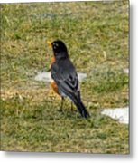 First Robin Of Spring Metal Print
