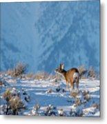 First Rut Mule Deer Buck Metal Print