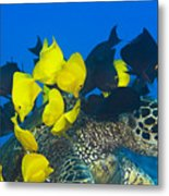 Fish Cleaning Turtle Metal Print by Dave Fleetham - Printscapes