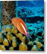 Fish On Coral Metal Print