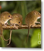 Five Eurasian Harvest Mice Metal Print