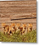 Five Fox Kits By Old Saskatchewan Granary Metal Print