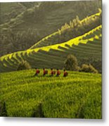 Five Ladies In Rice Fields Metal Print