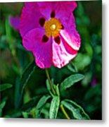 Orchid Rock Rose At Pilgrim Place In Claremont-california  Metal Print
