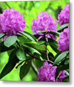 Five Wild Azaleas Blossoms Metal Print