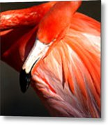 Flamingo - Over The Shoulder Metal Print