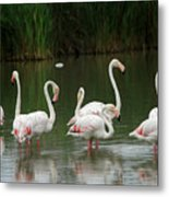 Flamingoes And Their Reflections Metal Print