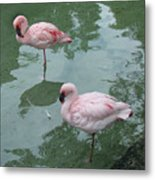Flamingoes Posing Metal Print