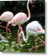 Flamingos 8 Metal Print