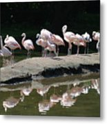 Flamingos With Reflection Metal Print