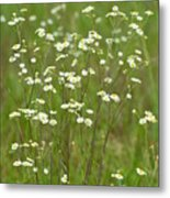 Fleabane In The Meadow Metal Print