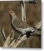 Flicker On Cedar Metal Print
