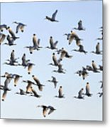 Flight Of The White Ibis Metal Print