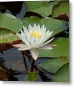 Floating Water Lilly Metal Print