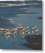 Flock Of Sanderlings Metal Print