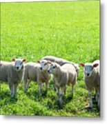 Flock Of Sheep Standing In A Field Waiting Metal Print