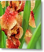 Floral Bearded Iris With Rain Drops  Metal Print