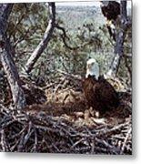Florida: Bald Eagles, 1983 Metal Print