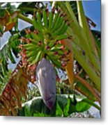 Florida Banana Flower And Fruit Metal Print