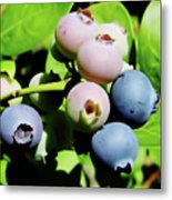 Florida - Blueberries - On The Bush Metal Print