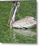 Florida Brown Pelican Metal Print