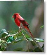 Florida Cardinal Metal Print