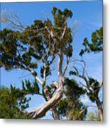 Florida Cedar Tree Metal Print