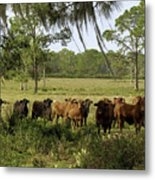 Florida Cracker Cows #3 Metal Print
