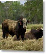 Florida Cracker Cows #4 Metal Print