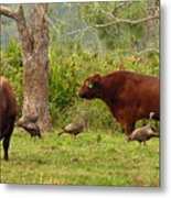 Florida Cracker Cows And Osceola Turkeys #2 Metal Print